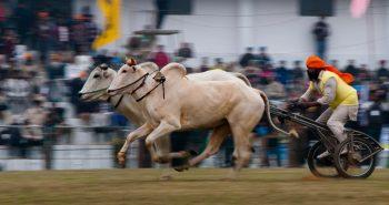 Bullock cart race after three decades:-
