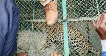 Leopard rescued from Palwal