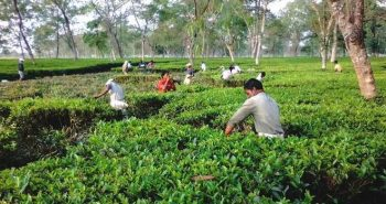 National is sole bidder to insure tea crop