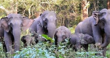 Relocated elephant calf returns to camp