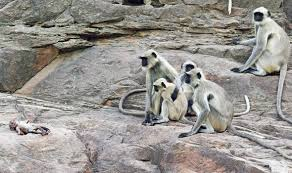 Forest Dept. to probe killing of monkeys