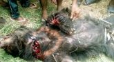 Couple killed, eight injured by wild bear in Srikakulam