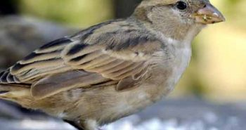 Save sparrows, Today is a World Sparrow Day