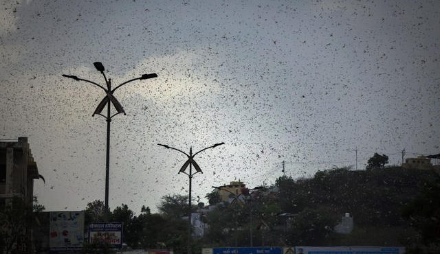 Locusts attack which attacks Indian farmers