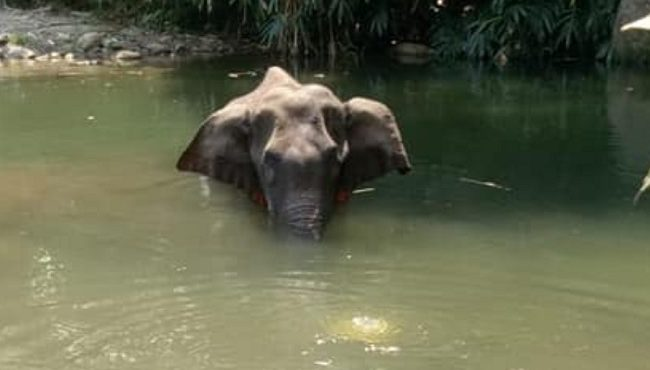 People's non-sense act on five sense animal spares life of Pregnant Elephant