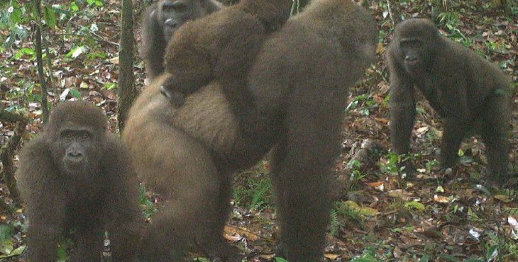 World's rarest species of Gorillas seen in southern Nigeria